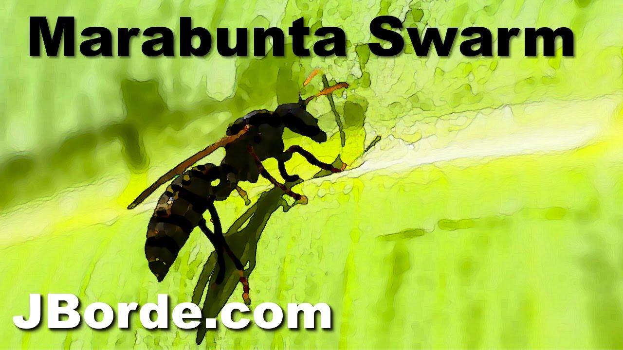 Marabunta Wasp Swarm in Trinidad | by JBorde.com