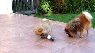 Carli - 10 Week Old Cute Pomeranian - Playing With A Toy