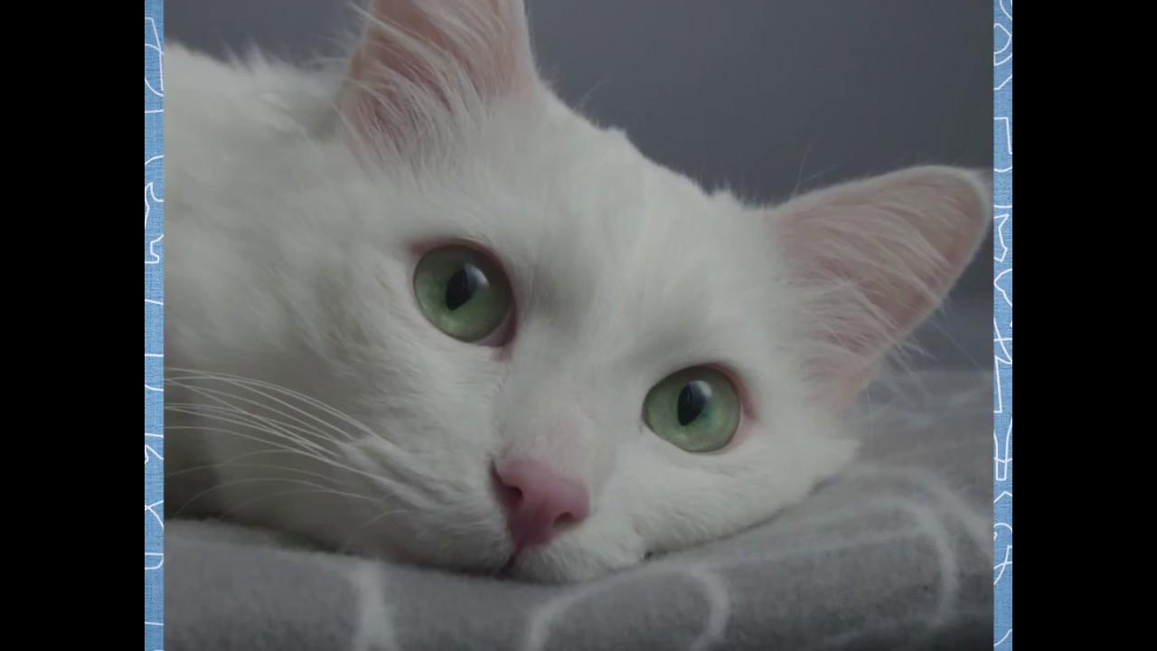 Borsta Tänderna På Din Katt Så Gör Du Youtube