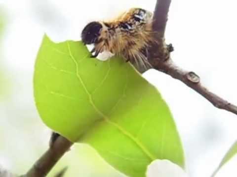 Eastern Tent Moth Caterpillar & Eastern Tent Moth Caterpillar - YouTube