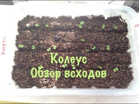 Колеус. Выращивание из семян. Как вырастить Колеус в домашних условиях.  2-Обзор всходов.