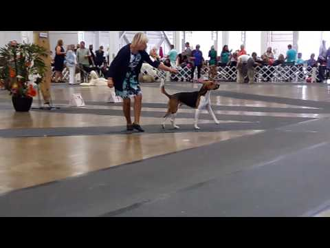 Santa Anna dog show 2016 : Harrier