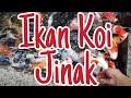 Ikan Koi Jinak Saung Jejaka Sunda  Mp3 - Mp4 Download