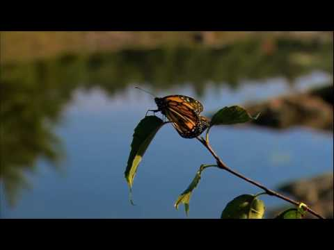 THE INCREDIBLE JOURNEY OF THE BUTTERFLIES - DOCUMENTARY 2016 HD