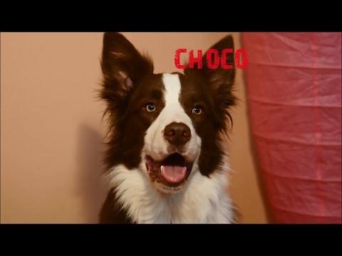 Choco - border collie 1 year