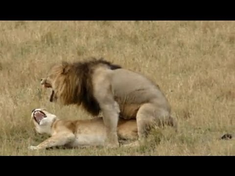 Lion sex - As quick as a king thumbnail