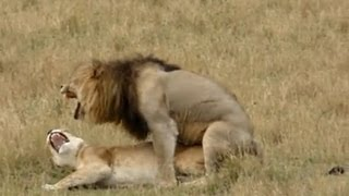 Download Video Lion sex - As quick as a king MP3 3GP MP4