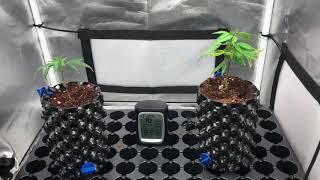Growing Marijuana Clones Featuring Pink Lemonade & Animal Cookies