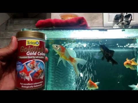 Feeding Tetra Goldfish Food To My Gold Fish