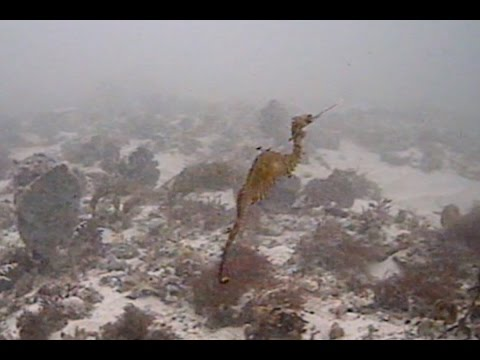 El dragón de mar rubí, grabado por fin en estado salvaje