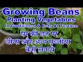 Growing Beans:Vegetables at Terrace in Pot and Containers