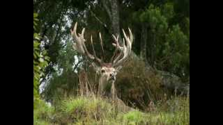 New Zealand hunting - Red Stag, Tahr, Chamois, Fallow deer, Rams and more!