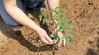 Pomidory - jak sadzić i nawozić?