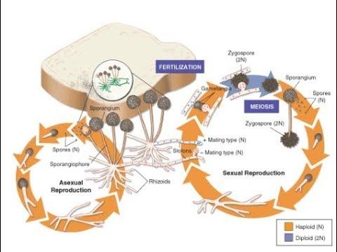 life cycle of fungus black bread mold (rhizopus stolonifer) - YouTube