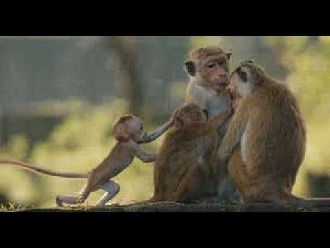 Monkey Kingdom 2015 (2015) with Tina Fey, Narrator (voice) Movie