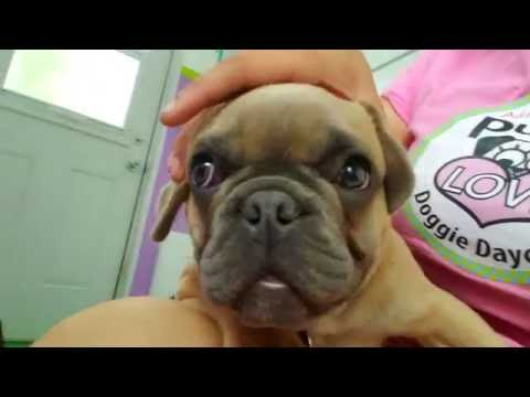French Bulldog turns into Pug... Puppy Magic!!!