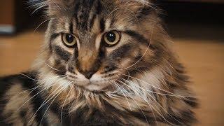 У тюменца живет 9-килограммовый кот