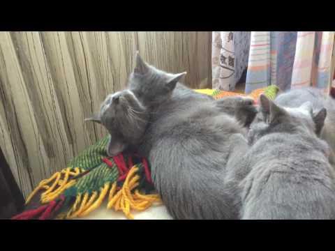Cleopatra Chartreux kitten