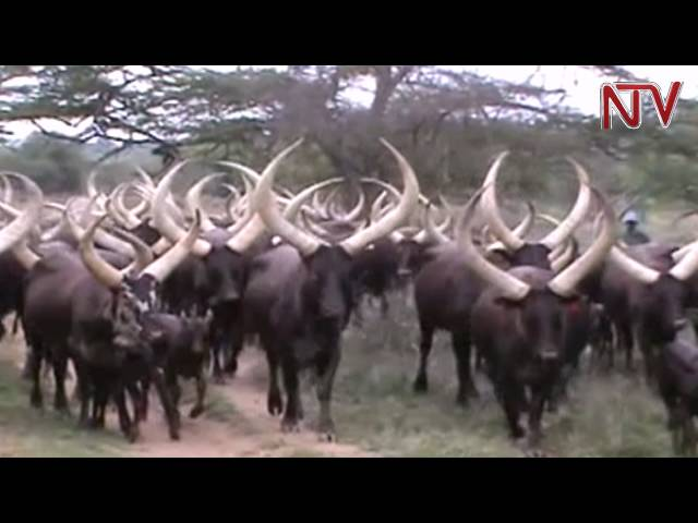 MBARARA: Conservation of long horned Ankole cattle tops Tourism expo