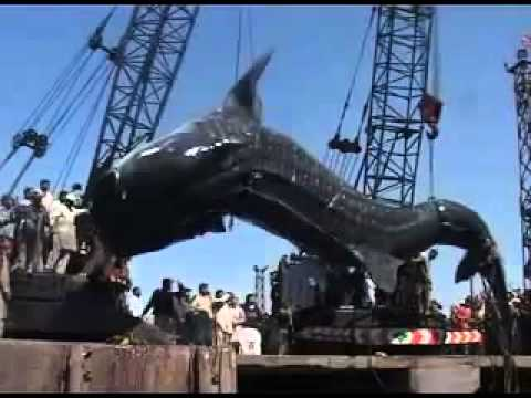 Biggest Whale In The World Ever Caught