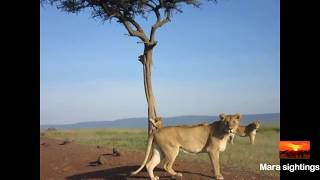 lion cub gets stuck in a tree and mom runs to help