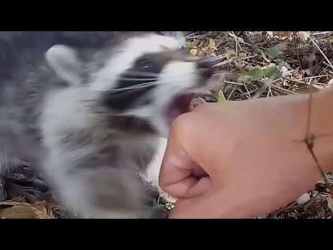 When animals attack humans: Raccoon edition
