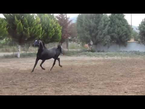 Αραβικο αλογο Μαυρο Επιβητορας - Black Arabian Stallion  aloga-stylas