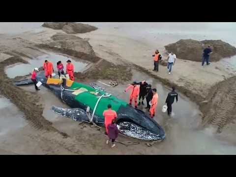 ARGENTINA. Rescuers struggle to free beached whale in Mar del Plata