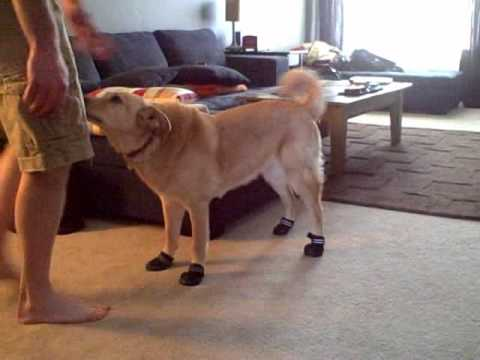 Dog's first time wearing hiking booties