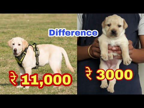 Labrador puppy price difference