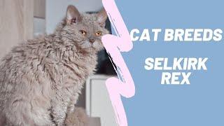 SELKIRK REX  CAT BREEDS