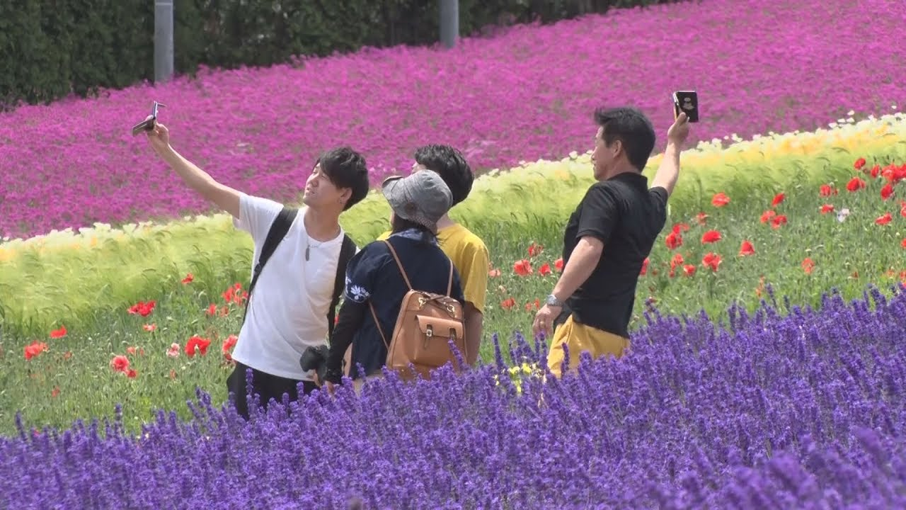 Lavender fields in Hokkaido's Furano in full bloom