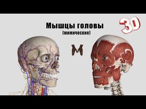 Мимические мышцы лица - детальный обзор 3д