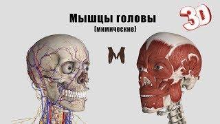видео Анатомия мимики (мышцы головы)