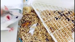 根気良く躾ければ、個体差ありますがラットもトイレを覚えます。 ウサギ...