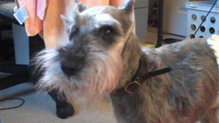 15 Year Old Miniature Schnauzer