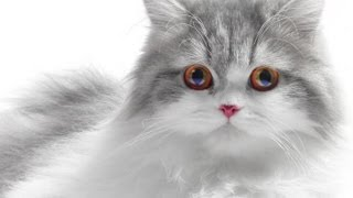 Signs of Allergies to Cats : Treating Allergies