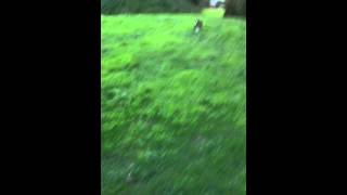 Training 4 Months Old Lurcher Pup Retrieving