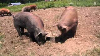 Kingbird Farm - Pastured Pigs (1 of 4) - Breeding