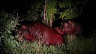 Vicious and deadly hippo fight in Kruger National Park -  Lower Sabie, January 15th, 2010 - Part 1