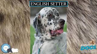 English Setter  Everything Dogs