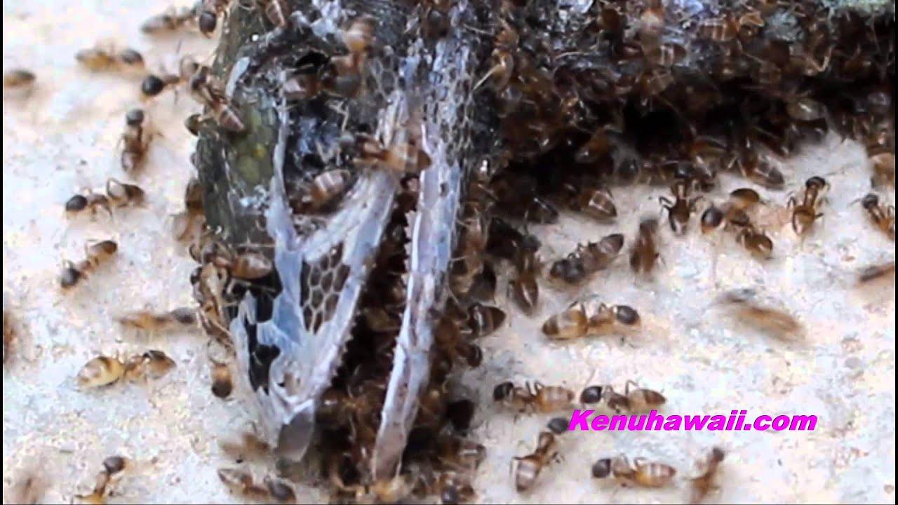 Hawaiian ants eating gecko - YouTube