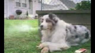 Собака курит