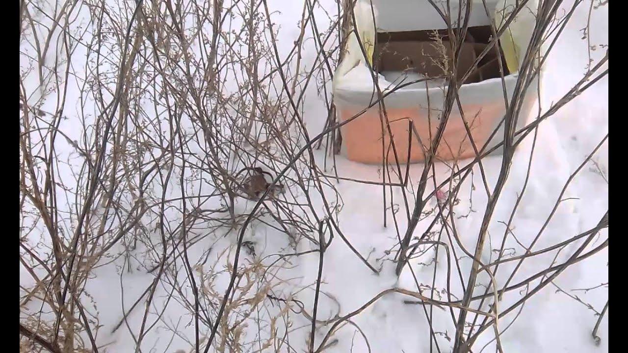Ловля куропаток зимой петлями
