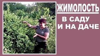 видео Жимолость съедобная применение посадка и уход