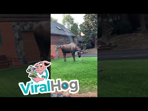 Bob Hauer - Moose Makes the Most of Garden Sprinkler