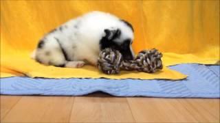 ID番号 : 9975 犬種 : シェットランドシープドッグ 性別 : 男の子(...