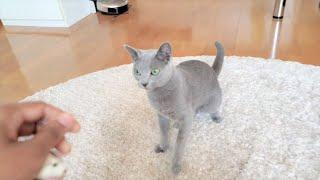 Russian blue cat Monaco is play like a dog