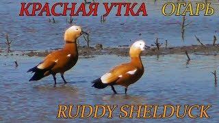 Огарь или Красная утка, Ruddy Shelduck, Casarca comune (Красная книга Украины)