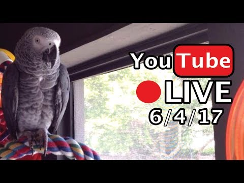 🔴🐦Einstein Parrot LIVE! 6/4/17 – Lots of talking on the porch!